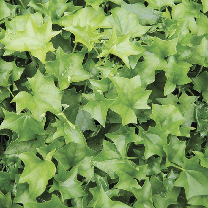 German Ivy Plant