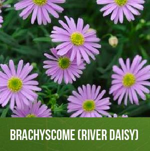 Brachyscome (River Daisy)