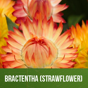 Bractentha (Strawflower)