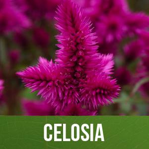 Celosia