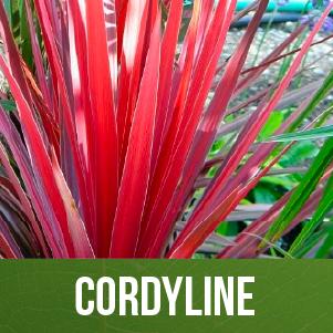 Cordyline (Dracena)