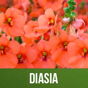 Diasia