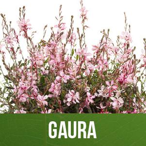 Gaura
