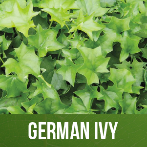 German Ivy