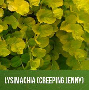 Lysimachia (Creeping Jenny)