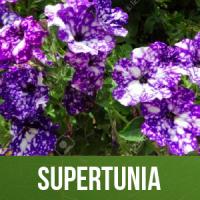 Supertunia