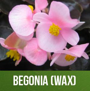 Begonia (Wax)