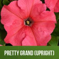 Pretty Grand (Upright)