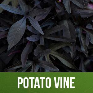 Potato Vine