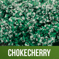 Chokecherry