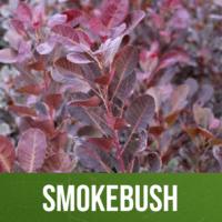 Smokebush
