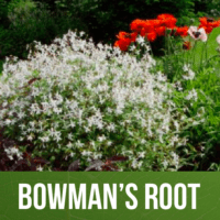 Bowman's Root