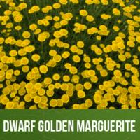 Dwarf Golden Marguerite