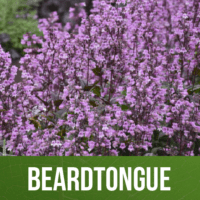 Beardtongue