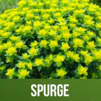 Spurge