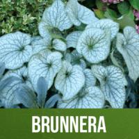 Brunnera