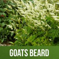 Goats Beard