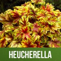Heucherella