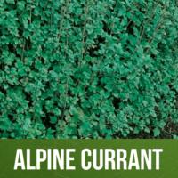 Alpine Currant
