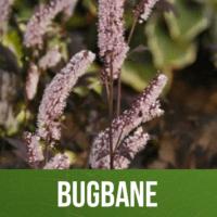 Bugbane
