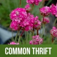 Common Thrift