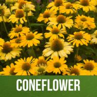 Coneflower