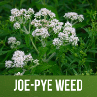 Joe-Pye Weed