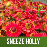 Sneeze Holly