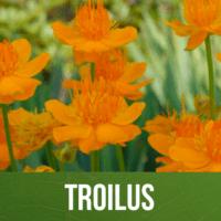 Troilus
