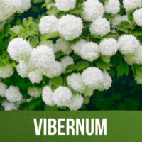 Vibernum