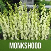 Monkshood